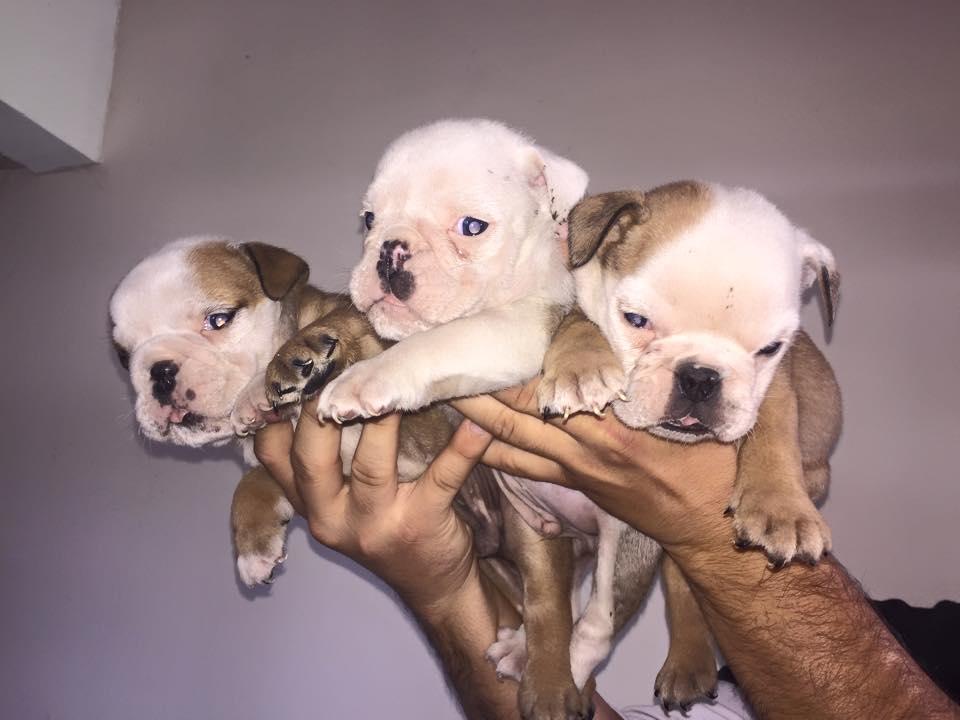 Safkan İngiliz Bulldog Yavruları