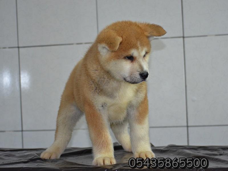 satılık yavru japon akita