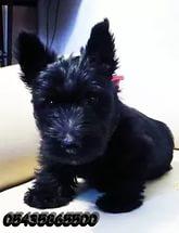 Yavru İskoç Terrier