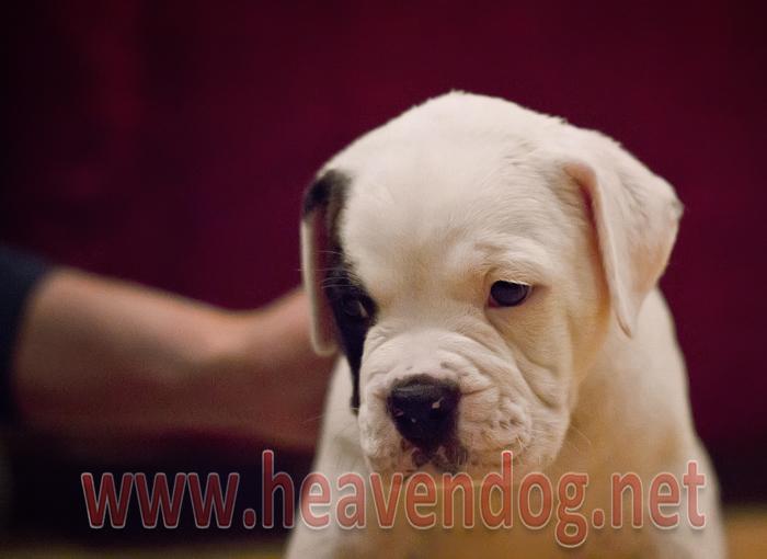 Yavru Amerikan Bulldog
