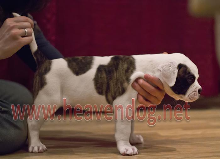 Amerikan Bulldog Yavruları