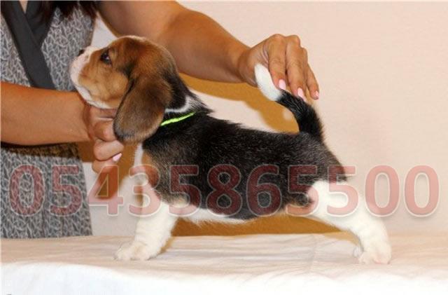 safkan beagle yavru