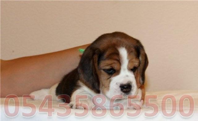 elizabeth beagle