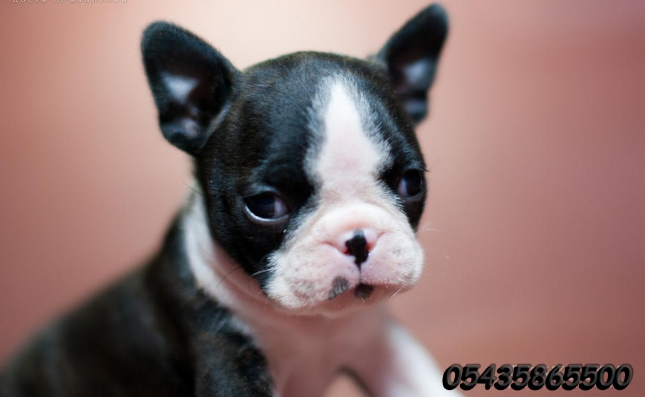 boston terrier yavru