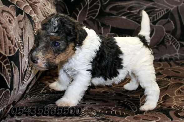 wire fox terrier safkan