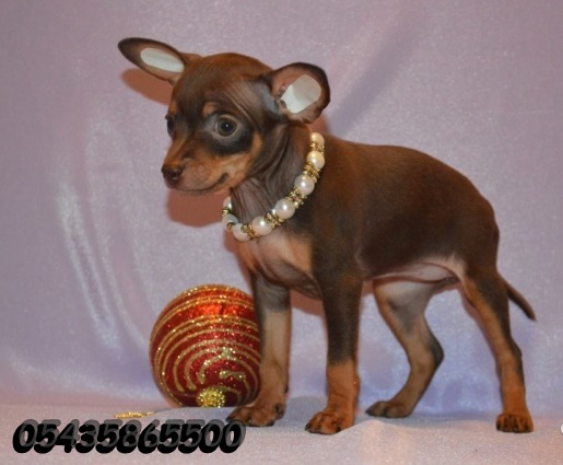 yavru russian toy terrier
