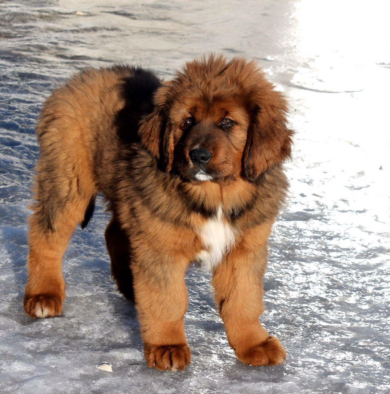 satılık tibetan mastiff yavru