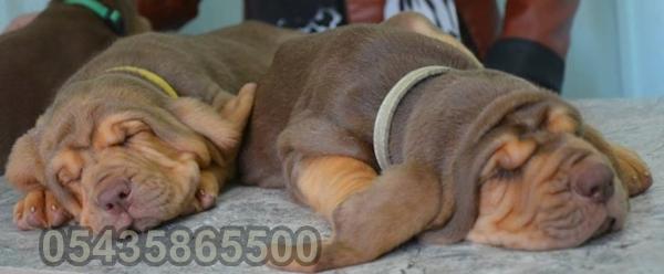 satılık bloodhound
