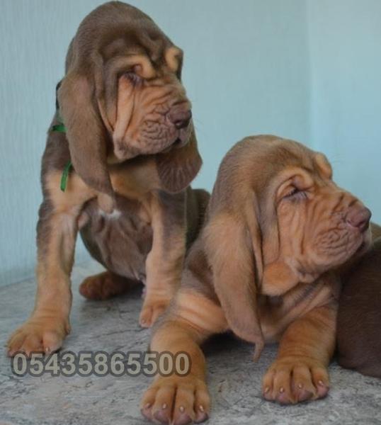 satılık  yavru bloodhound
