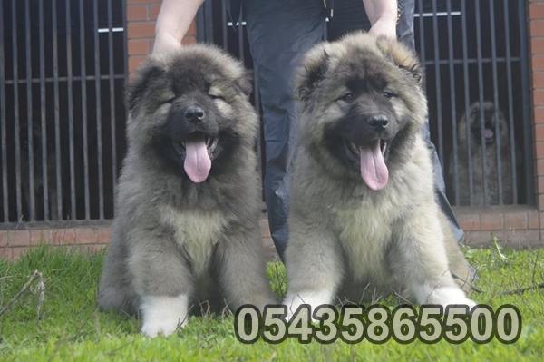 yavru köpek ilanı