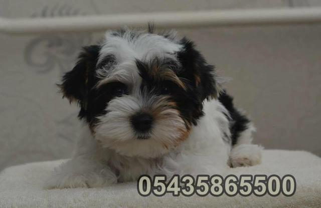 satılık beyaz yorkshire terrier