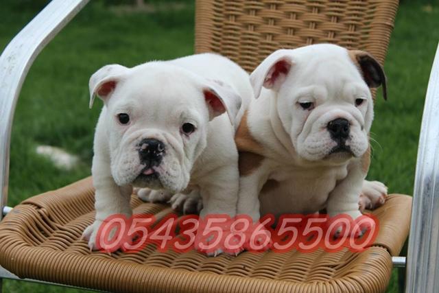satilik ingiliz bulldog yavrulari