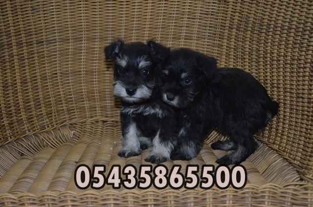 satılık minyatür schnauzer yavruları