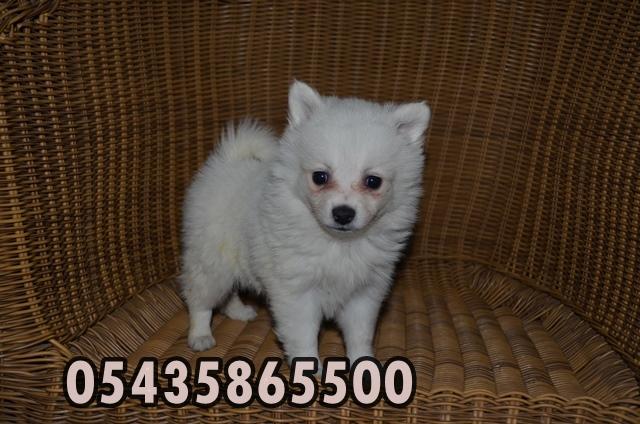 satılık japon spitz yavruları