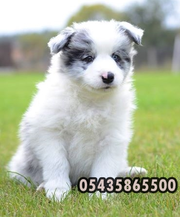 satilik border collie