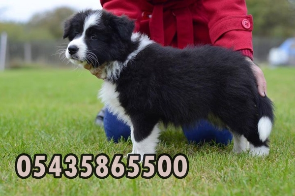 satilik border collie yavrulari