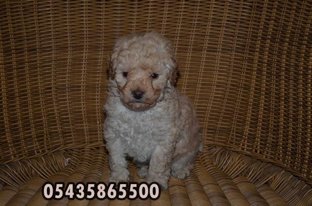 satılık kaniş köpek fiyatları