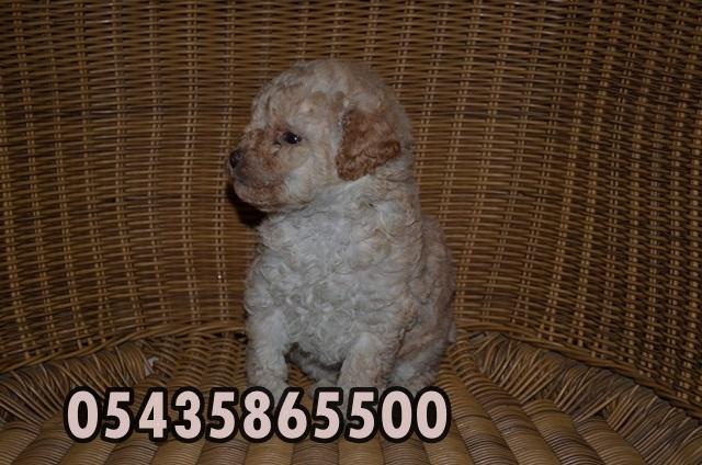 yavru poodle kaniş köpek ilanları