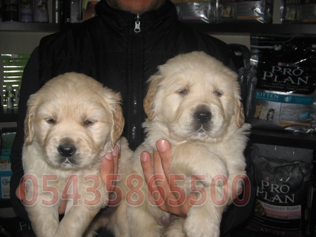 golden retriever satın al