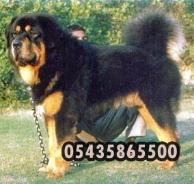amerikan-tibet-mastiff,