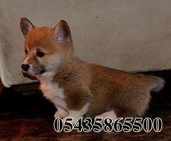 corgi köpek fiyatları