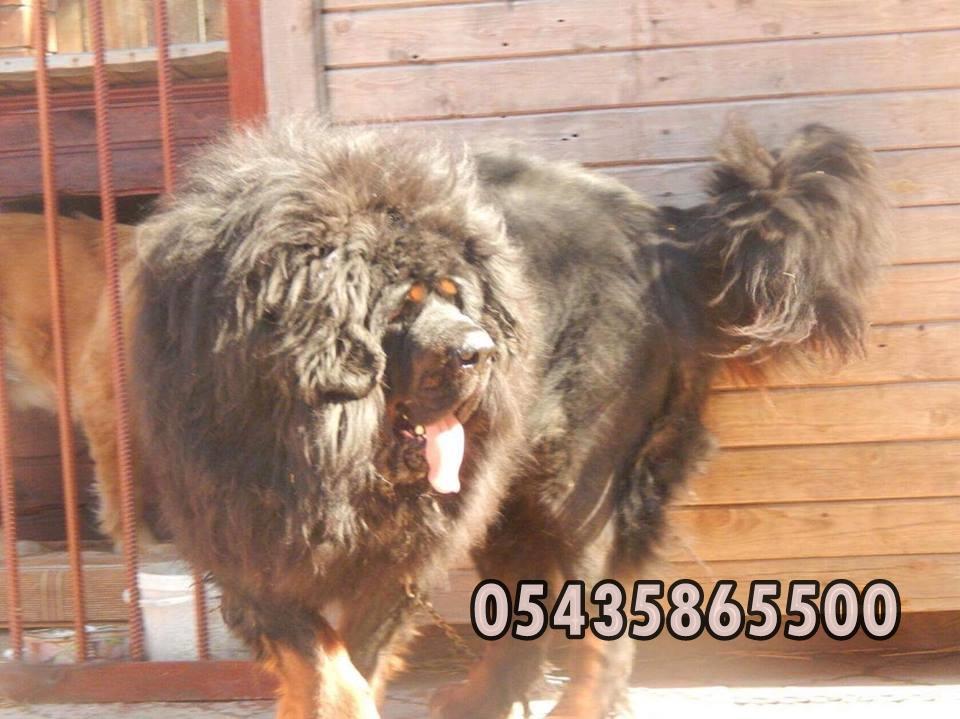 yeleli-tibet-mastifi