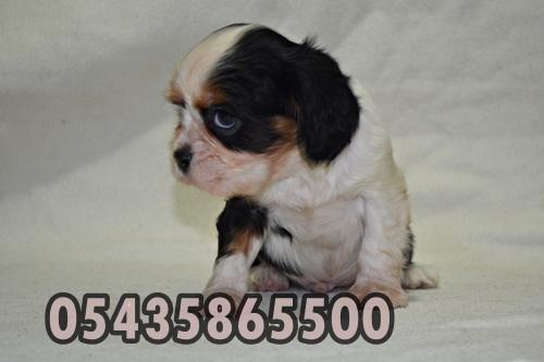 satılık yavru cavalier
