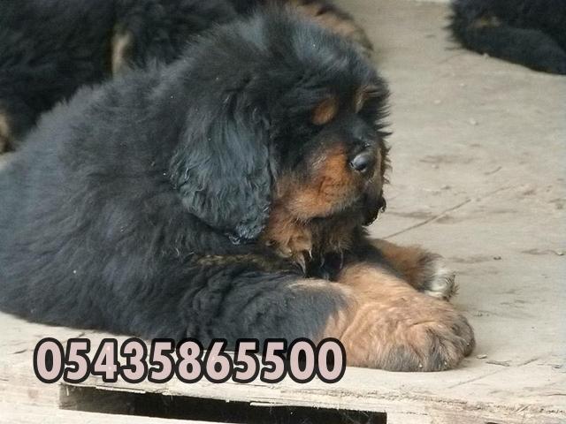 Satılık tibet mastifi