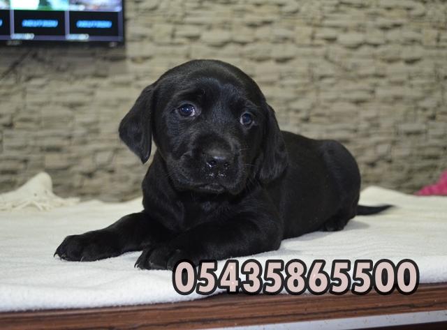 Siyah Labrador fiyatları