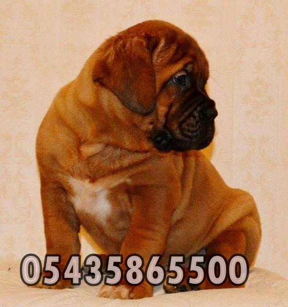 satılık bordeux mastiff