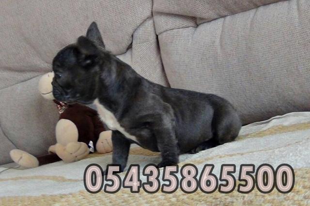 satılık yavru blue fransiz bulldog