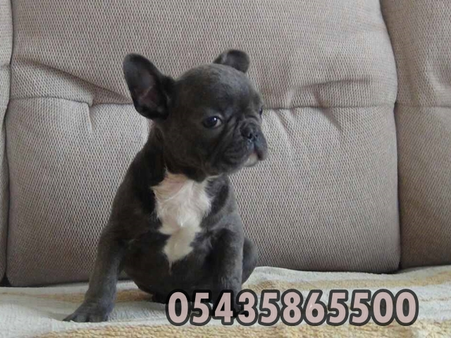 satilik blue french bulldog