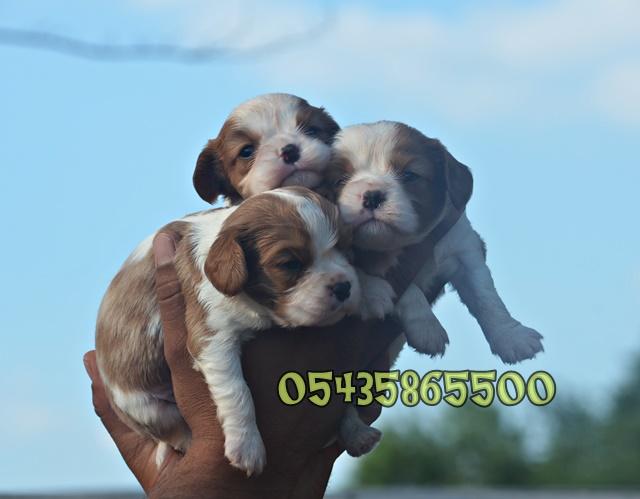satılık cavalier yavruları