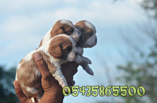 satılık yavru king charles