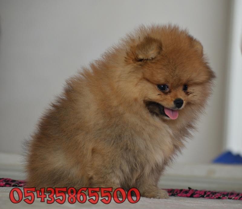 pomeranian boo dog