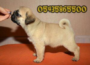 satılık pug yavru