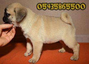 satılık yavru pug mops