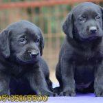 siyah yavru labrador