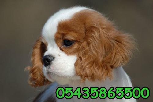 satılık cavalier yavrusu