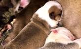 İngiliz Bulldog Yavruları