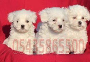 Maltese Terrier Fiyatları
