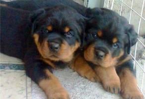 Satılık Rottweiler Yavru ilanı