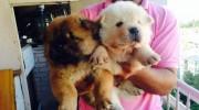 Satılık Chow Chow Yavruları