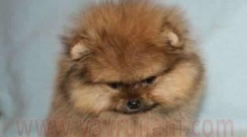 Orjinal Pomeranian Yavruları