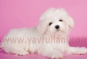 Safkan Maltese Terrier