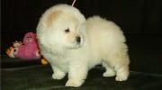 Beyaz Chow Chow – Çin Aslanı