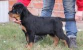 Koca Kafa İdeal Rottweiler yavruları