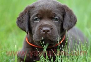 Çikolata Labrador Retriever Yavruları