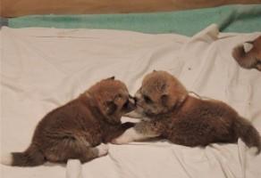 japon akita inu yavruları