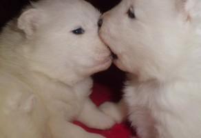 Kar Beyaz Samoyed